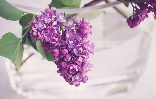 lilac-2323695_1920