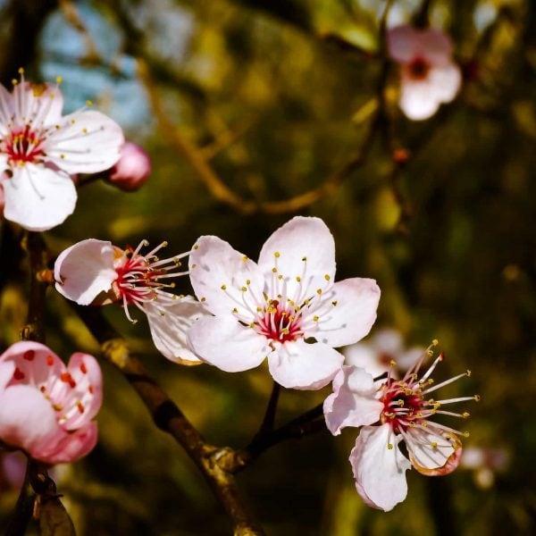 almond-blossom-1229141_1920-600x600